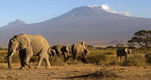 Amboseli elephant and Kilimanjaro