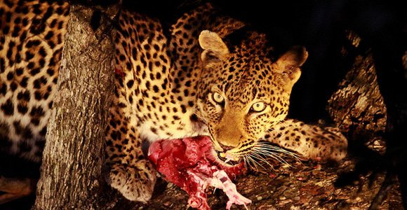 Leopard with Fresh Kill by Grant Peters