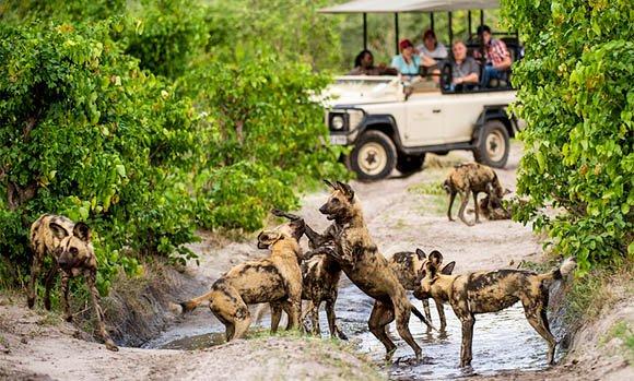 Wild dog in Botswana's green season