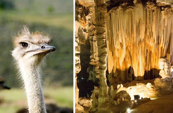 Oudtshoorn ostriches and the Cango Caves