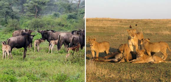 Wildebeest migration calving season