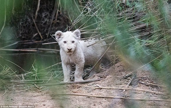 An adorable white lion cub - Scott Ramsay