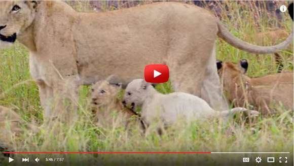Video of a pride with white lion cubs in Singita Kruger Park