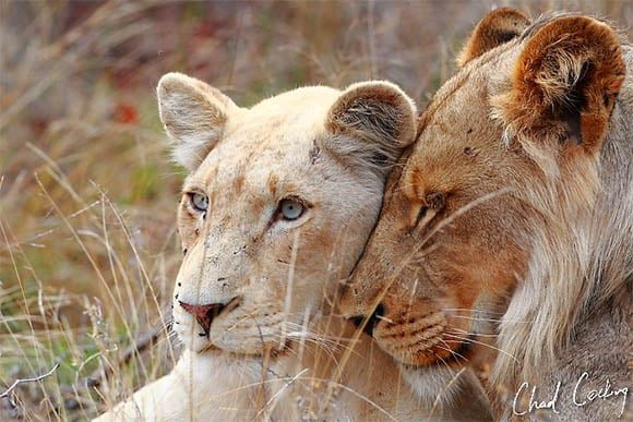 White lioness & tawny lioness