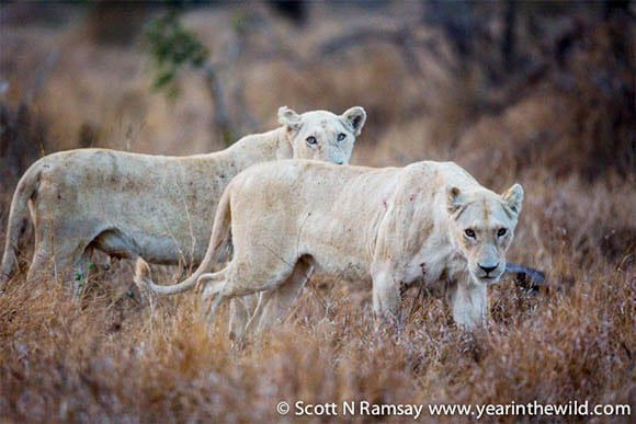 Two white lionesses - by Scott Ramsay
