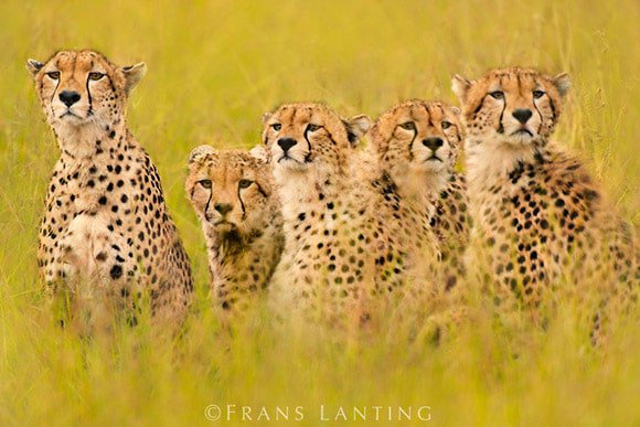 Cheetahs - Frans Lanting