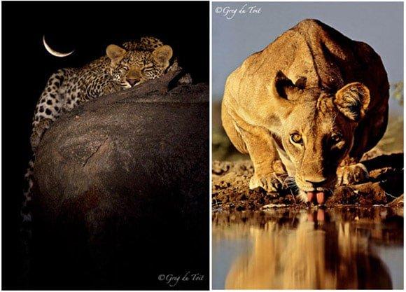 Big cat photos by Greg du Toit