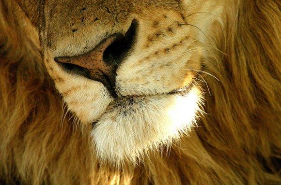 Lion photograph - Michael Poliza