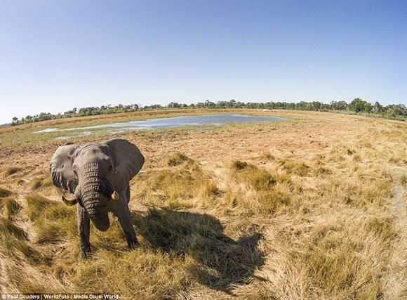 Chobe elephant drone photography