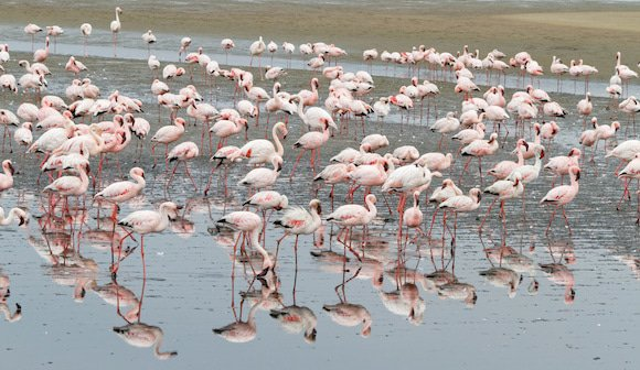 Flamingos at Walvis Bay