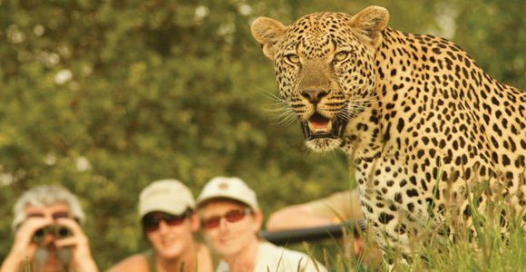 Leopard sighting in Londolozi