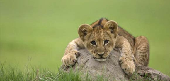 Lion cub in The Last Lions