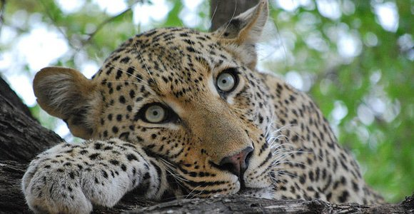 Leopard in Sabi Sands by RikRak