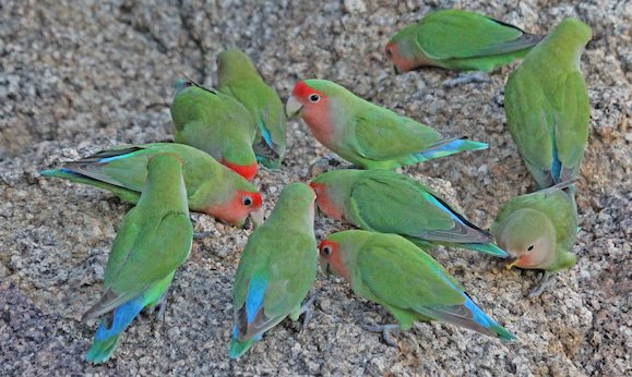 Rosy-faced lovebirds at the Erongo Wilderness Lodge