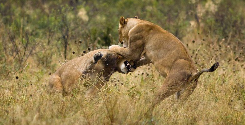Lions fighting in the Liyanti Region bordering Chobe - by gigi_h