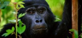 Gorillas in the Mist in Rwanda