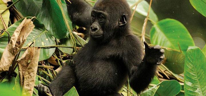 Discover the Congo & Gorilla Trekking