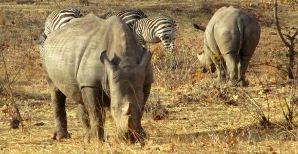 Rhinos in Mosi-Oa-Tunya National Park