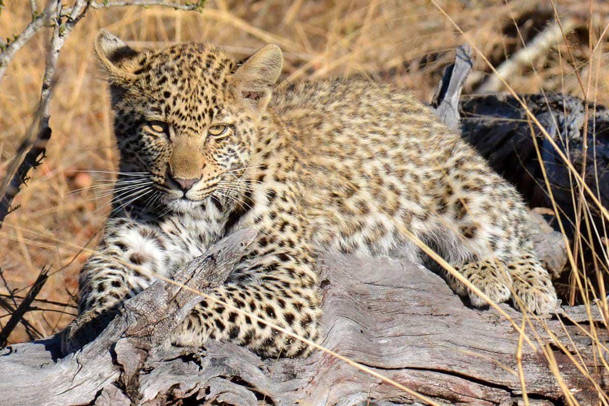 Londolozi leopard cub