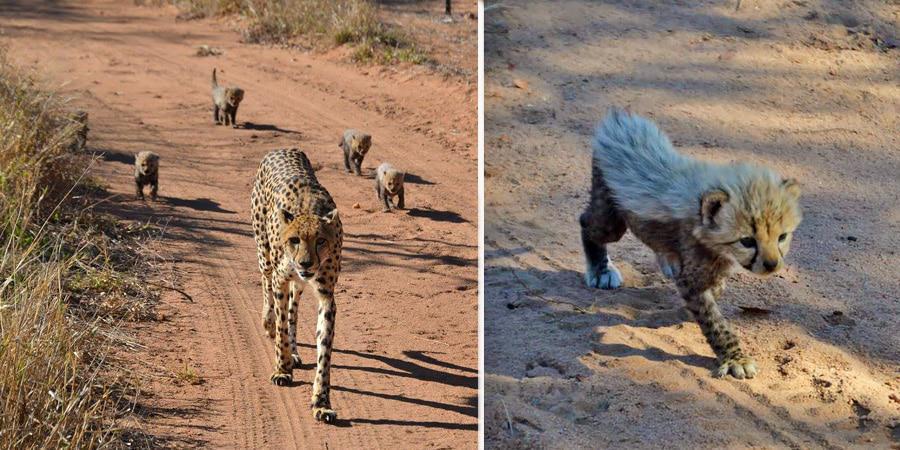 Cheetah with cubs at Royal Malewane