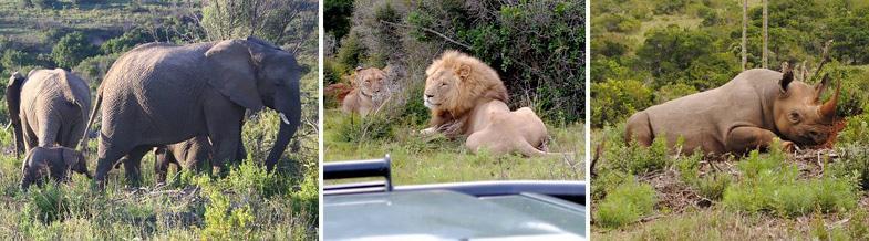 Elephant, lion and black rhino at Kariega