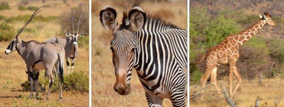 Unique wildlife in Samburu National Park