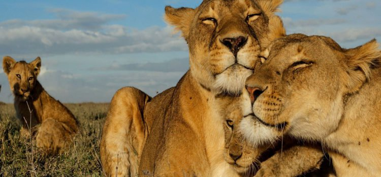 Dereck & Beverly Joubert – Living with Lions