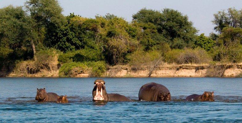 A pod of hippo in the Zambezi River