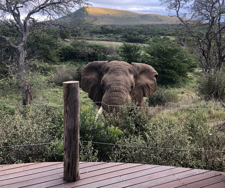 Elephant at the deck at Mthembu Lodge