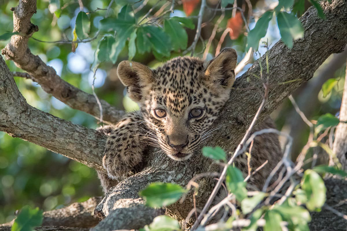 Leopard cub in Londolozi in the Sabi Sands