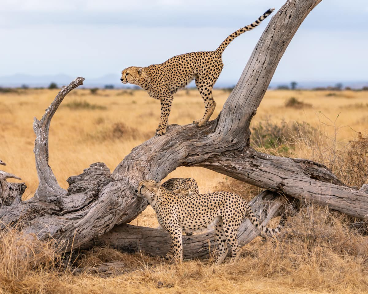 Two cheetah seen in Amboseli National Park