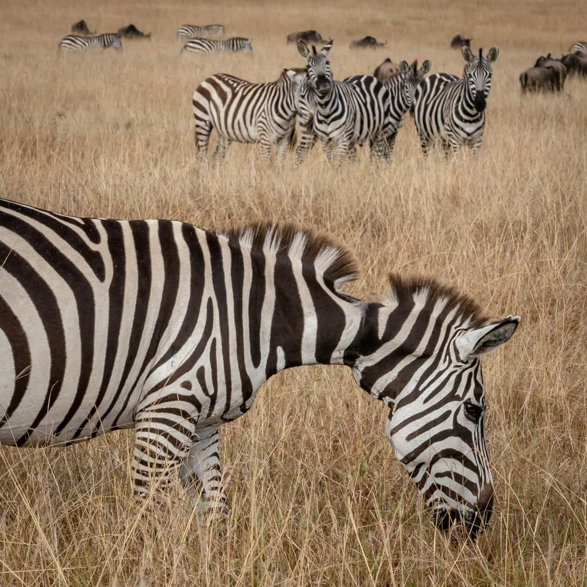 Zebra on the Masai Mara plains in Kenya