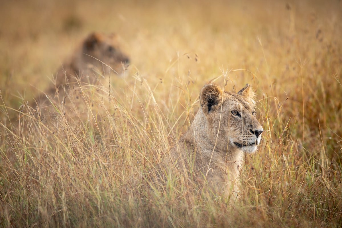 Lionesses in the long grass of the Masai Mara