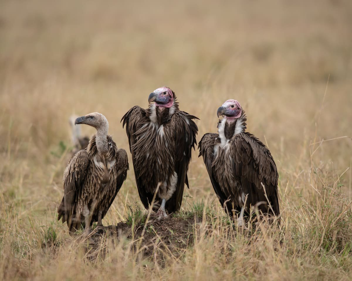 Vultures in the Masai Mara during the migration