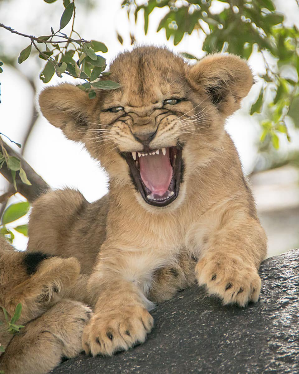 Lion cub in Serengeti National Park, Tanzania