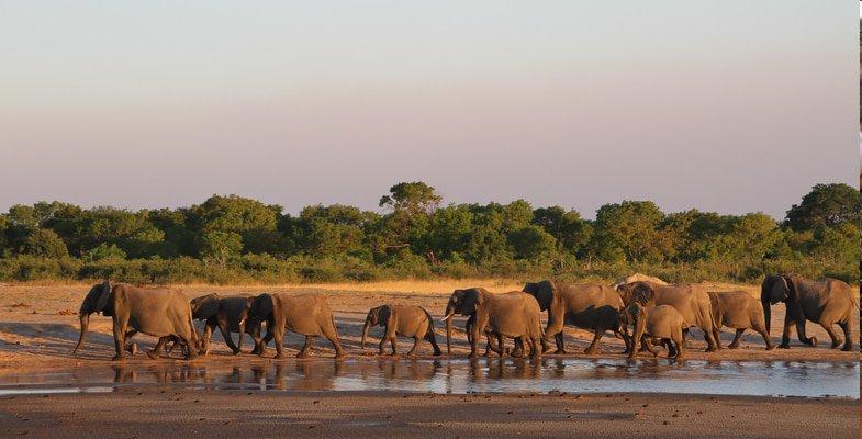 Herd of elephant at a waterhole in Hwange