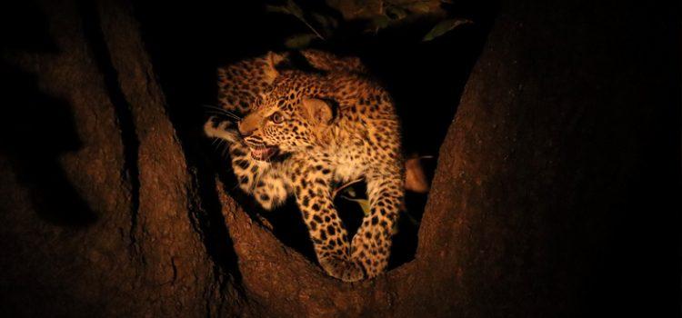 South Luangwa Safari at Lion Camp