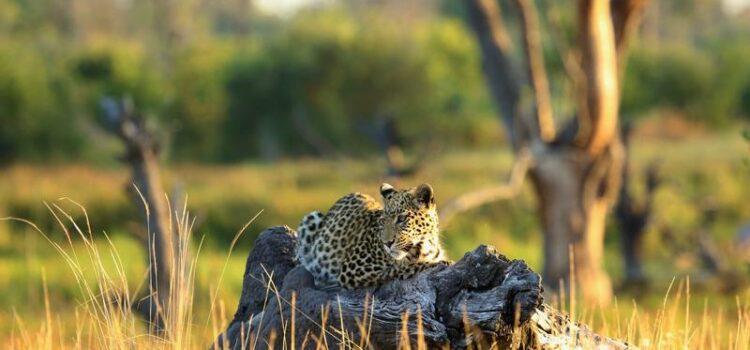 Khwai Leadwood – African Bush Camps