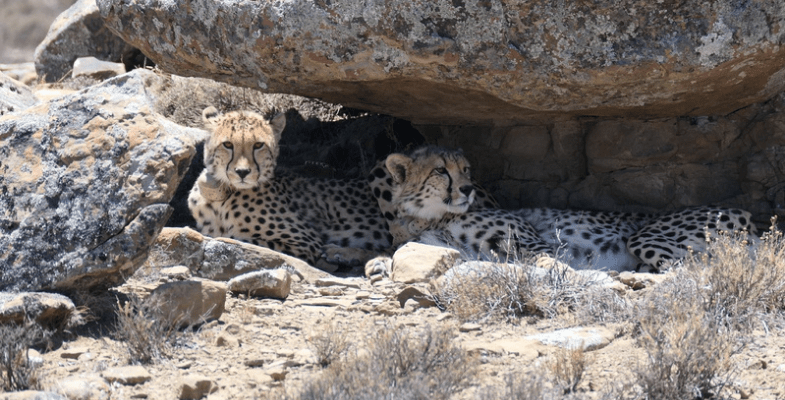 South Africa's Northern Cape Cheetah Tracking
